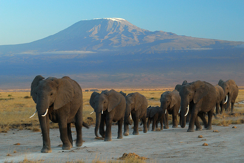 Elephants_at_Amboseli_national_park_against_Mount_Kilimanjaro